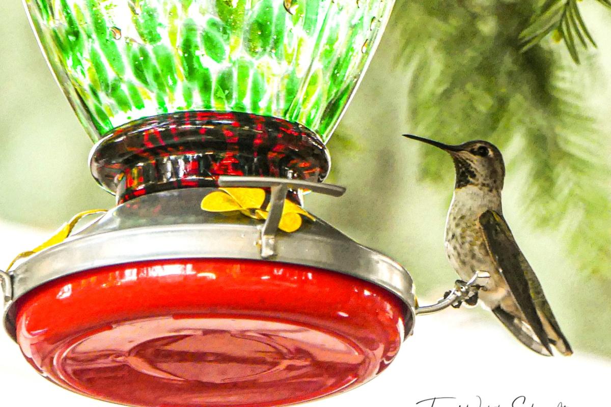 hummingbird ready to feed