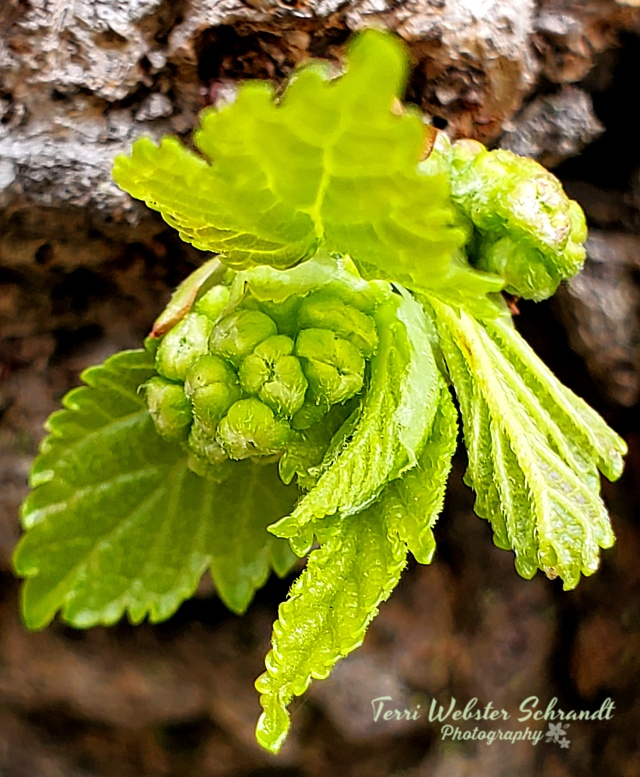 Mulberry bud close-up