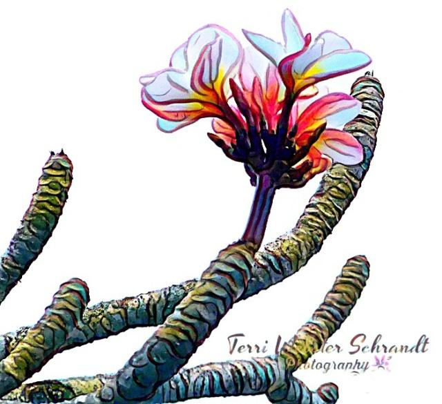 Painted Plumeria