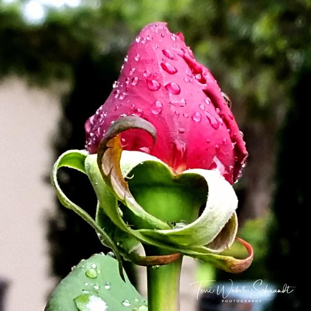 Drops on tops of rosebud