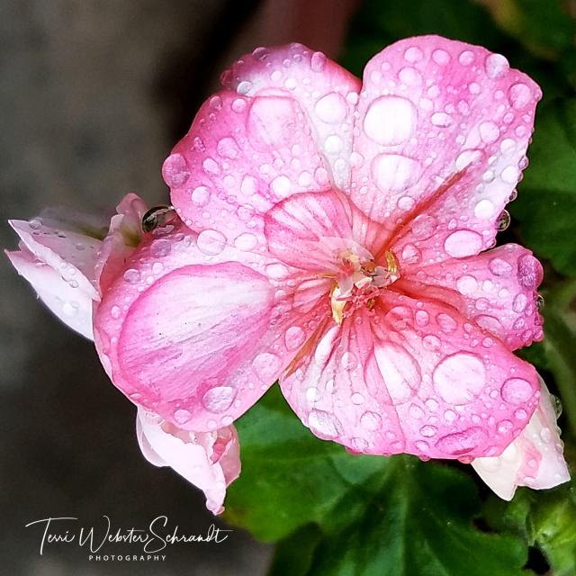 Geranium Drops
