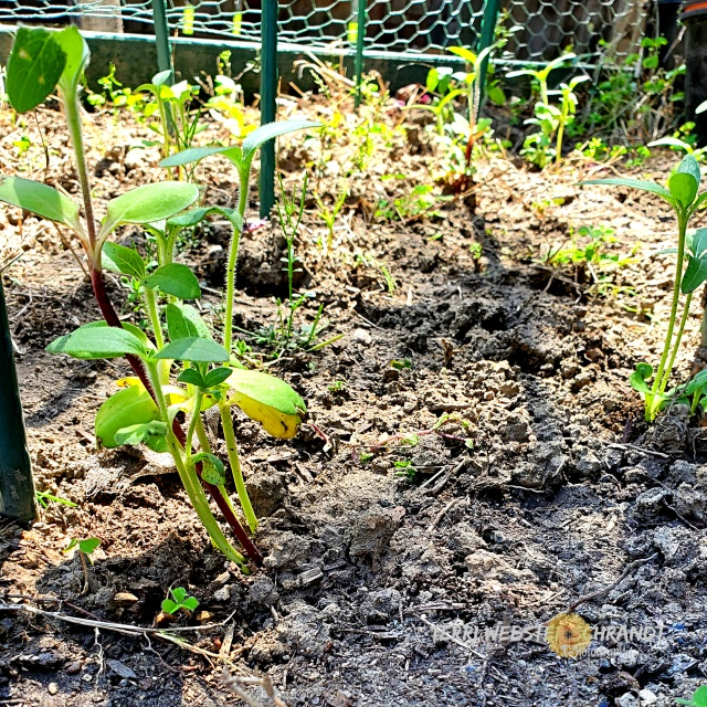 planted sunflowers