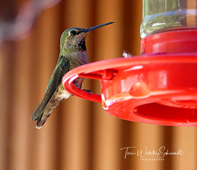 Perched Hummingbird_2020