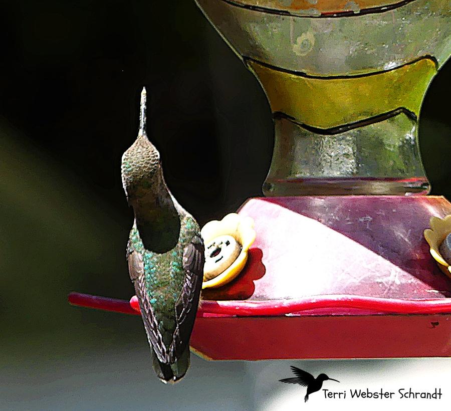 Hummer Straight Beak