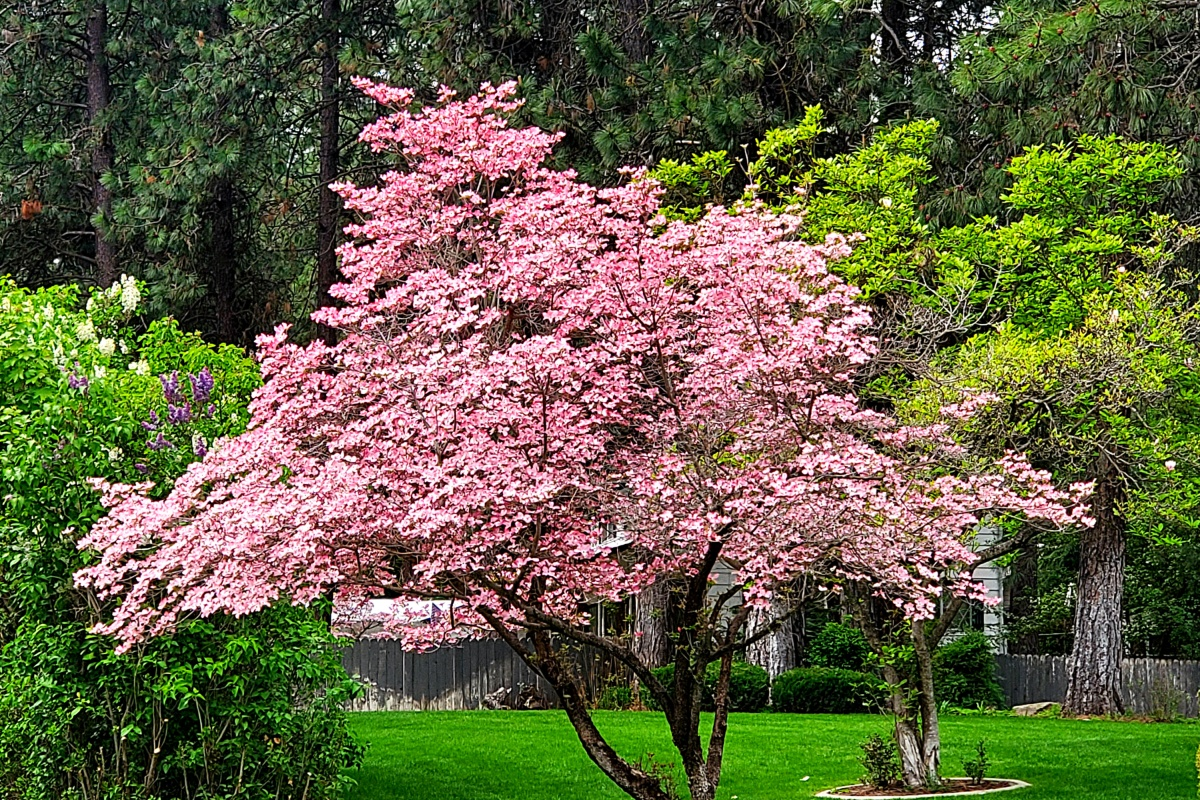 Dogwood Trees bloom in May