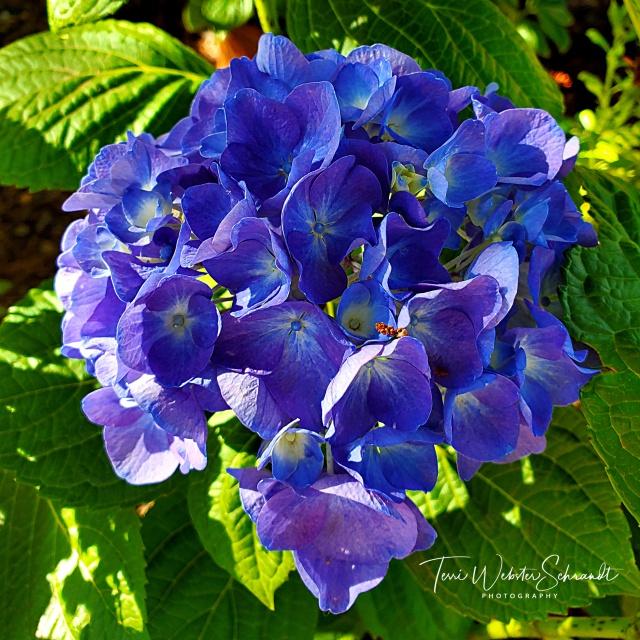 Blue hydrangea bloomed