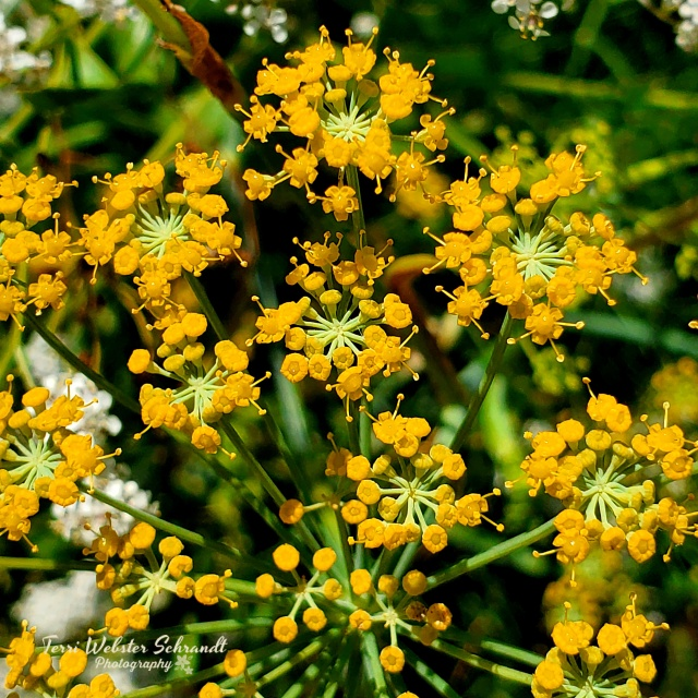 Delta Yellow Wildflowers