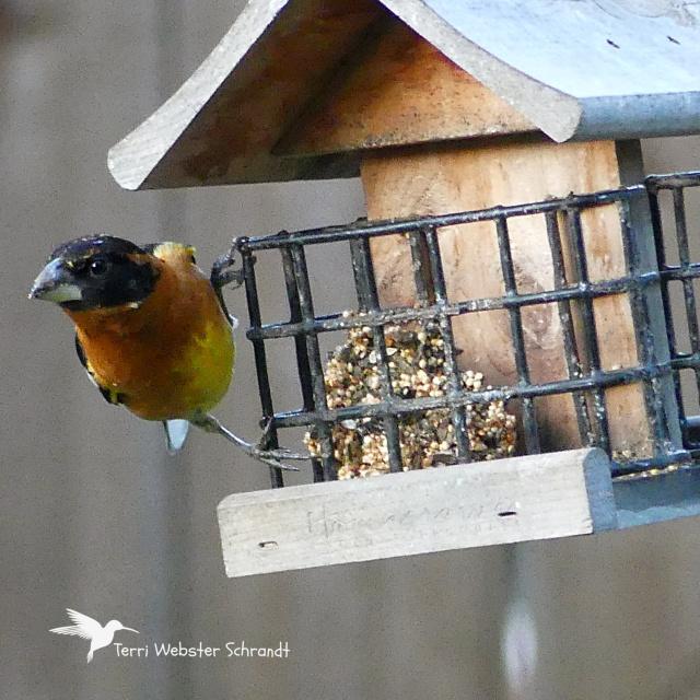 orange bird on feeder