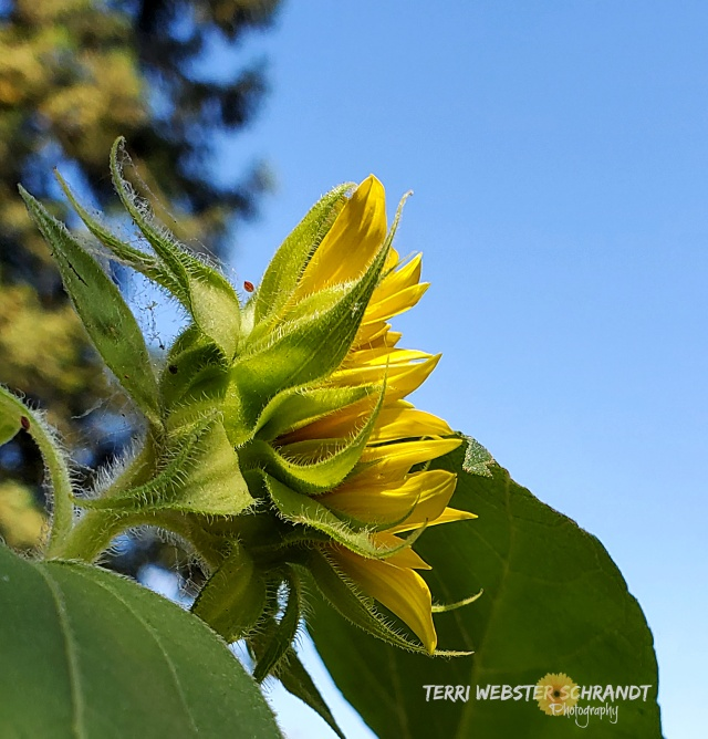 sunflower looks to the sky