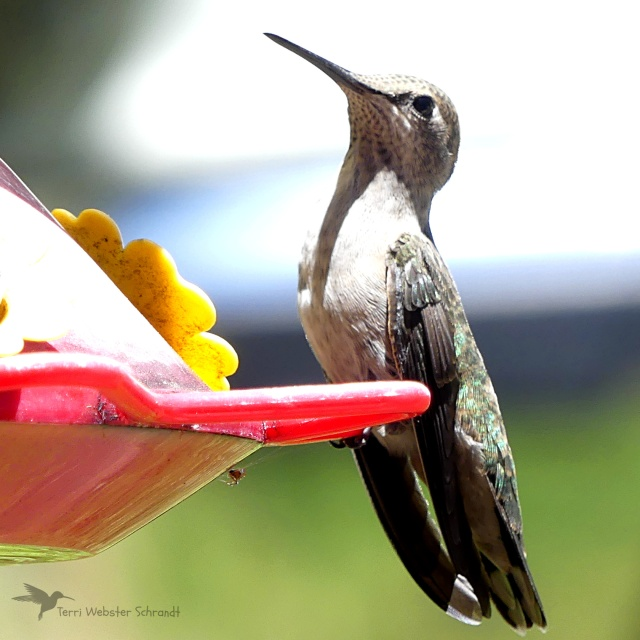 Hummingbird and Dry Feeder