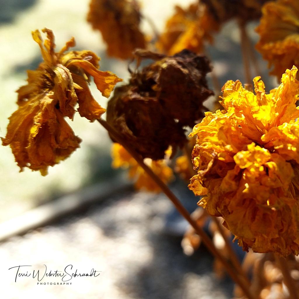 dry ochre marigolds