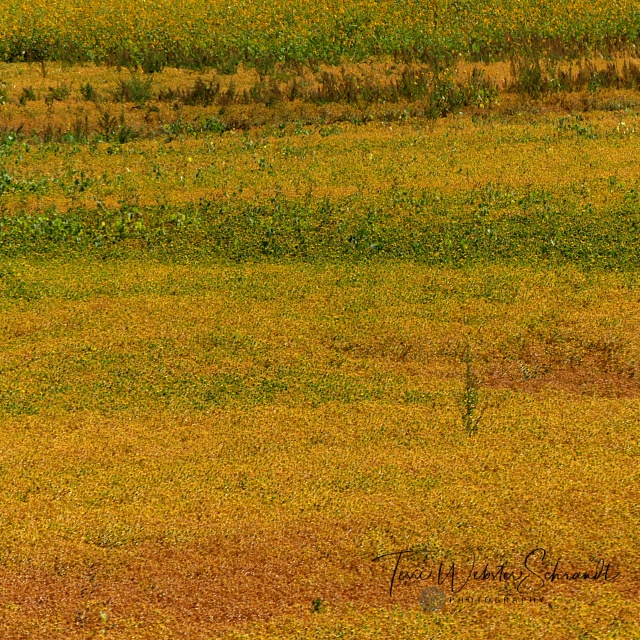 saffron field of ochre