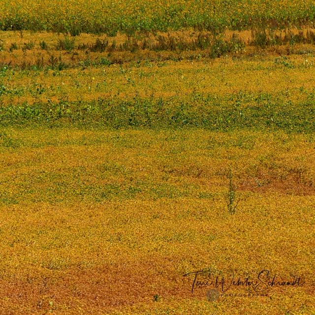 saffron field of ochre