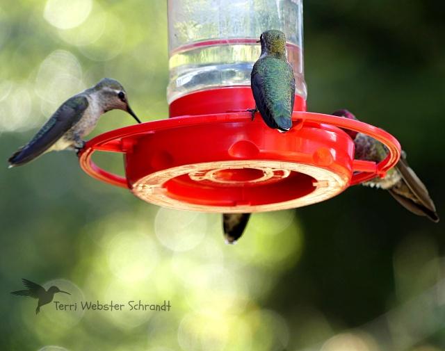 Hummingbird quartet at feeder