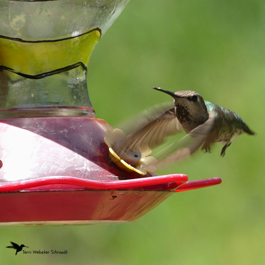 Hummingbird ready to feed