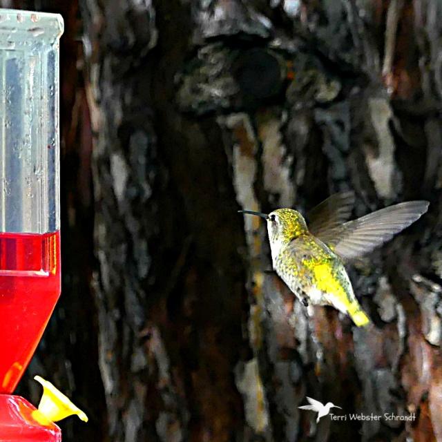 yellow Anna hummingbird