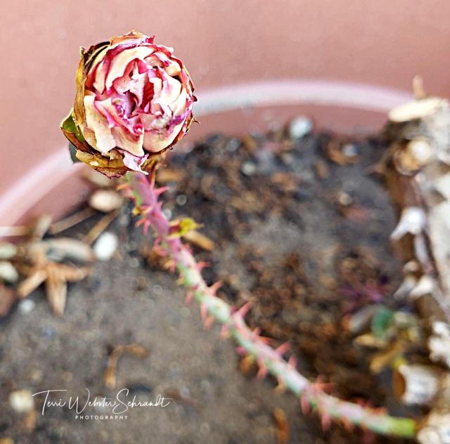 Mom's last rose