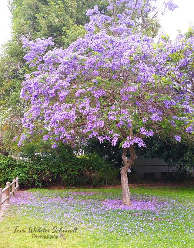 Jacaranda Tree and Petals