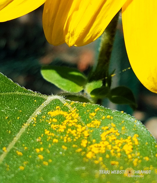 Fallen pollen on sunflower