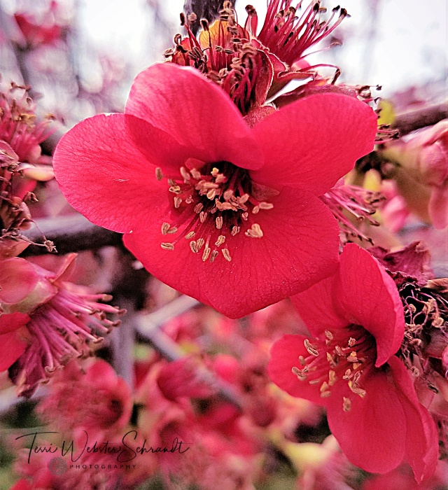 Rosy Quince blossom
