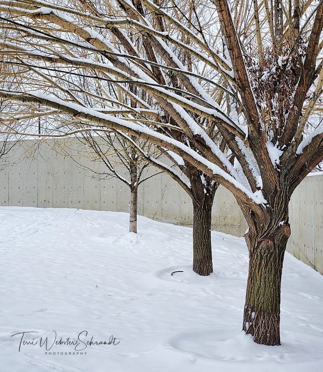 Bare White Winter Trees