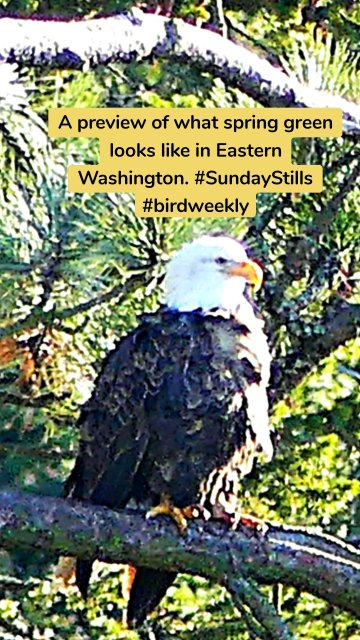 A preview of what spring green looks like in Eastern Washington. #SundayStills #birdweekly