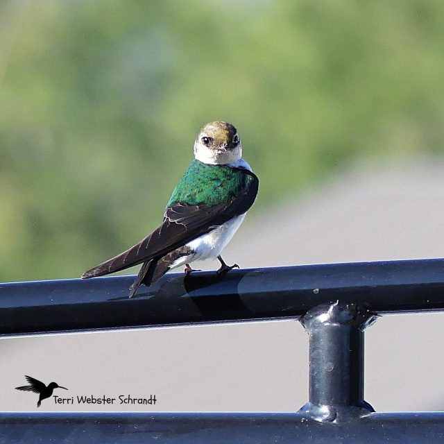 Perched Swallow