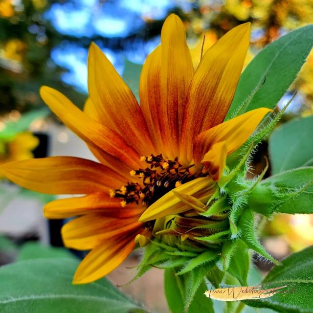 red gold sunrise sunflower