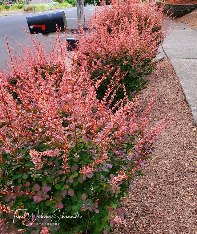 Pink Japanese Barberry