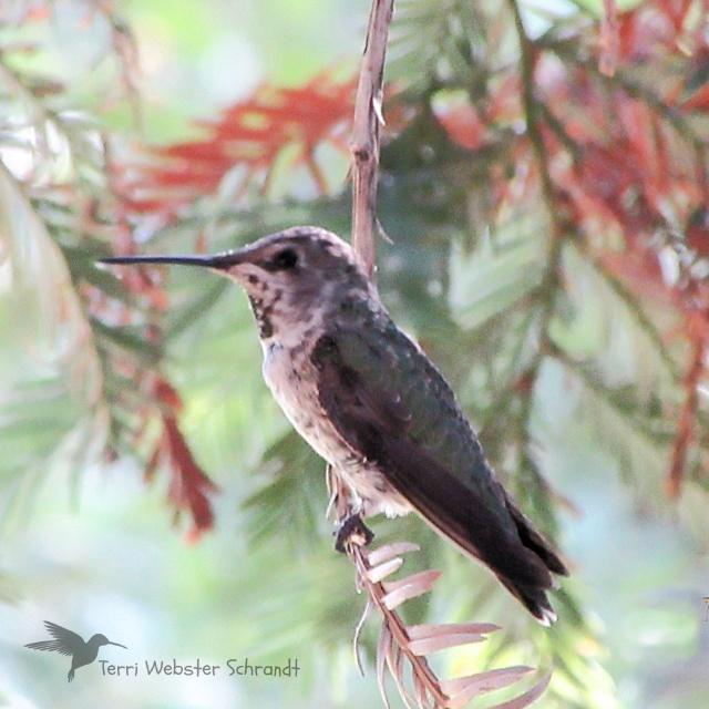 freckled hummingbird