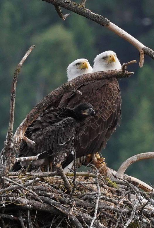 Bluebell Court Eagles ©Diana Gigler