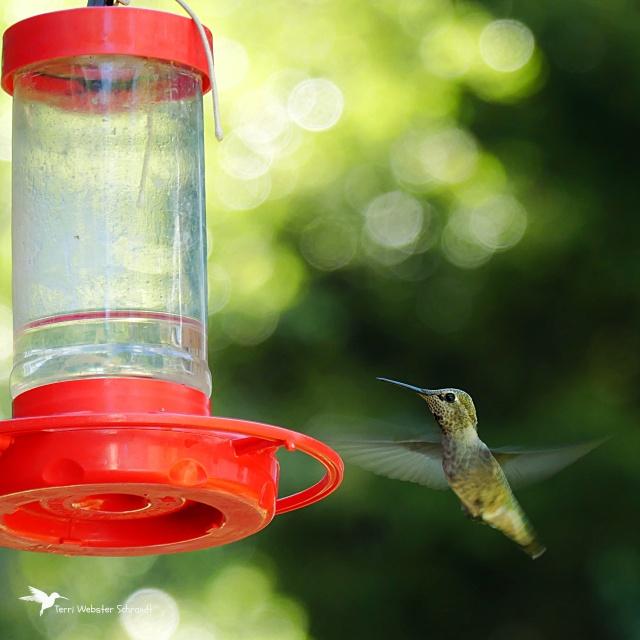 Evergreen hummingbird