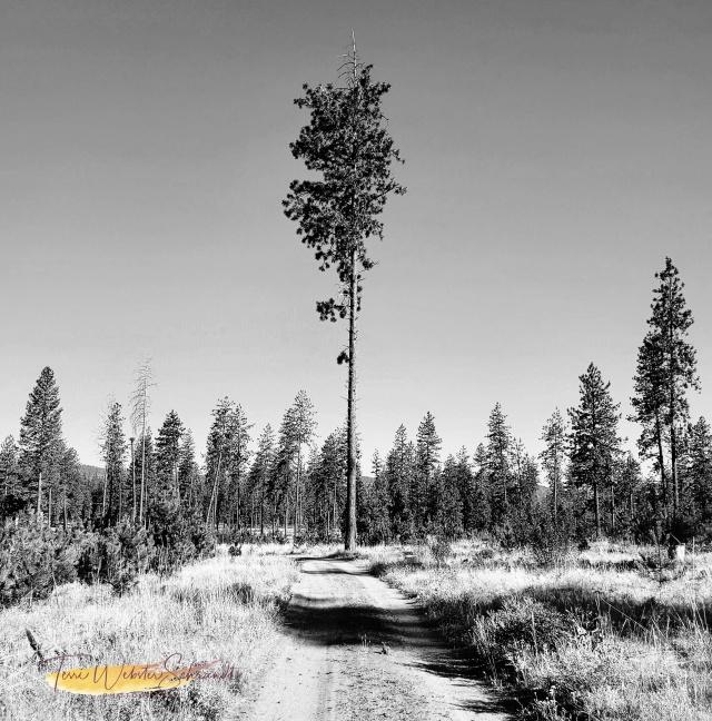 One tall Pine tree