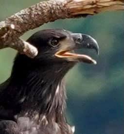 Juvenile Bald Eagle, Journey Bluebell Court Eagles ©Diana Gigler
