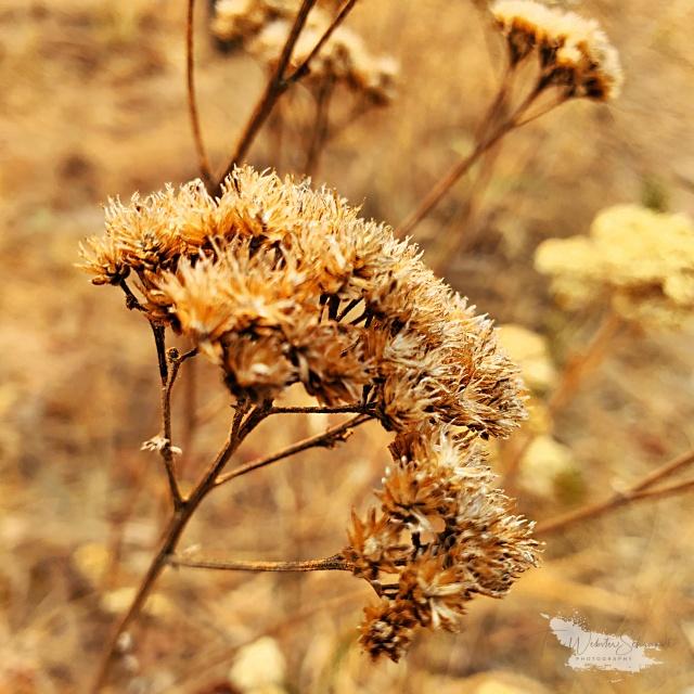 dry brown wildflower