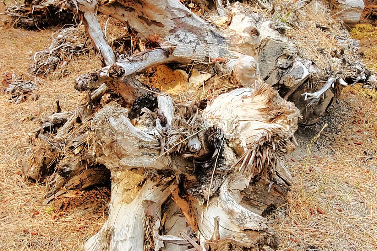burlywood stump