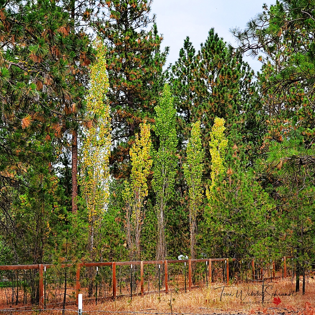 Hint of Autumn in the Aspen trees
