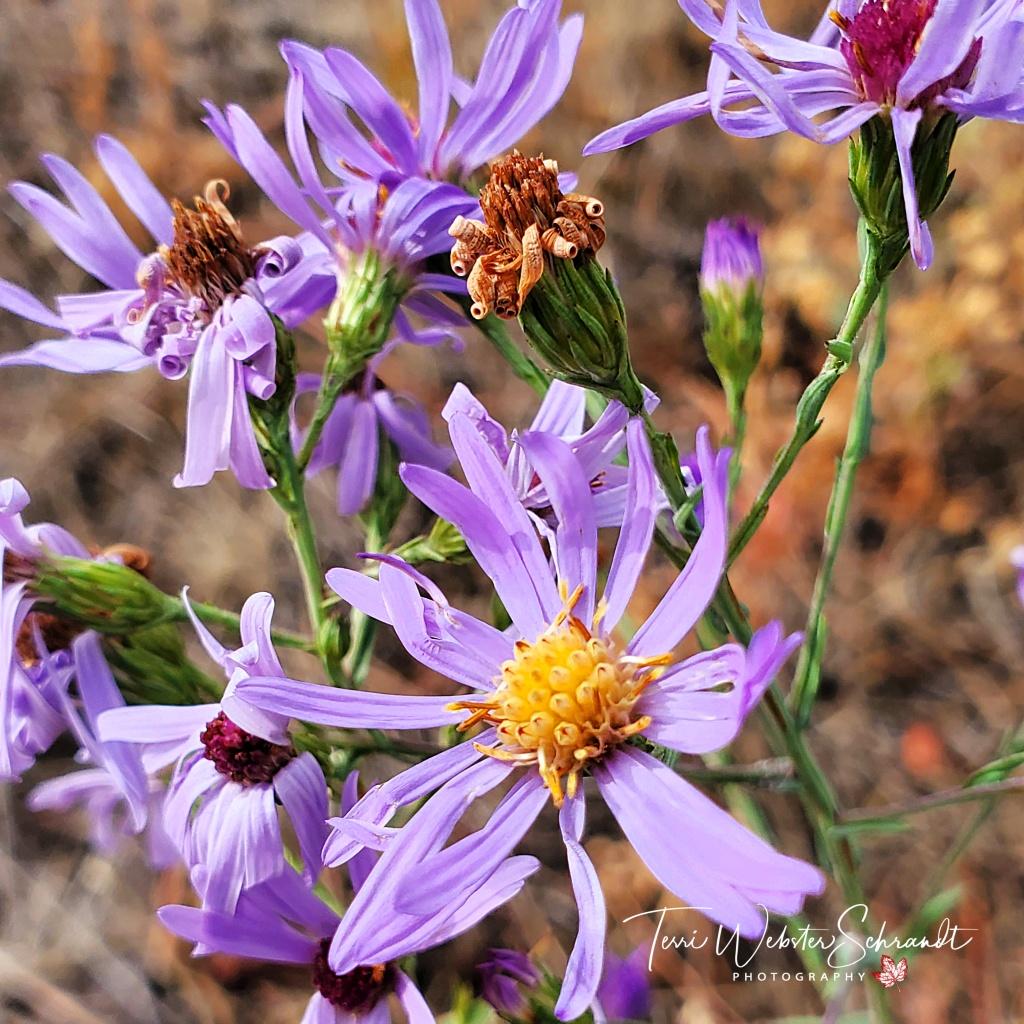 Purple Fall Aster