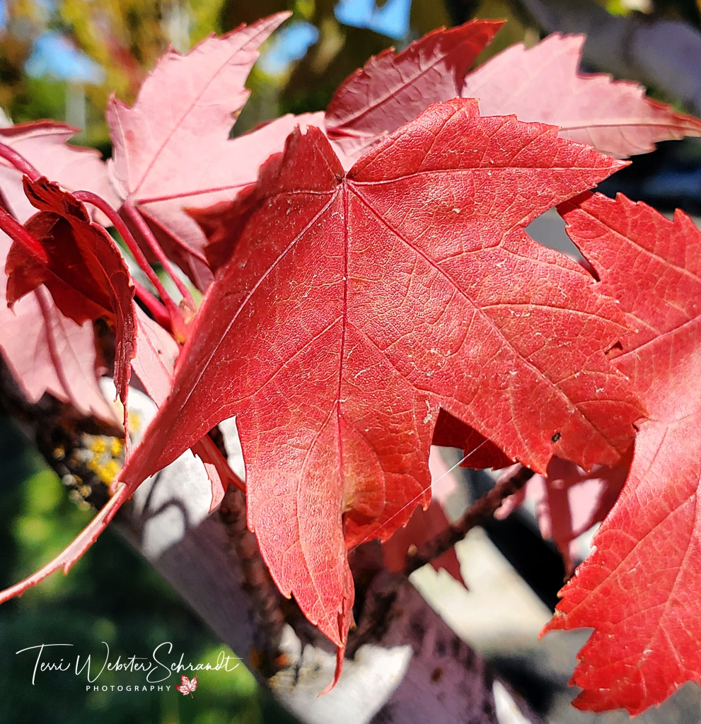 Pink and red Maple Leves